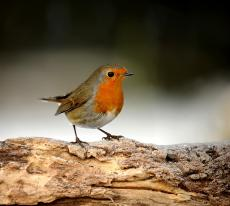 "European Scientists Discover ""Magnetic Compass"" In Robins' Eyes"