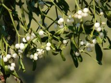 Mistletoe Oil Could Reduce Dry Eye Symptoms, New Study Suggests