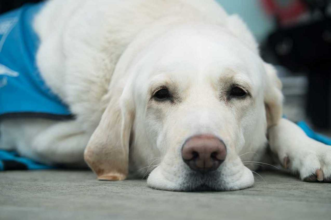 Guide Dogs for the Blind, 4 amazing ways they help