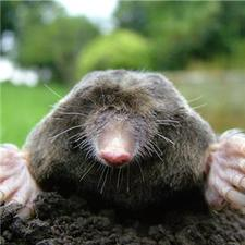 Short-sighted moles help scientists see the light